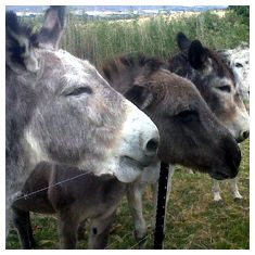 Rescued donkeys in the Modderfontein donkey sanctuary.