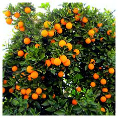 Organic oranges ready for harvesting.